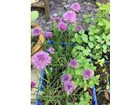 Plants - Family grown Burwell