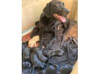 Labrador Pups For Sale