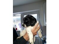 English Springer Spaniel Puppies KC registered