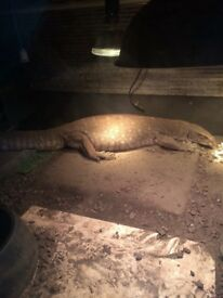 Male bosc monitor 3 ft long