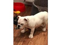 English Bulldog Girl Puppy 4 Months Ol