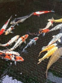 koi pond closing large japanese hand feeding and pumps filters etc