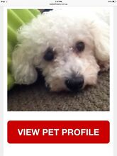 Pet missing, please help find her One Mile Ipswich City Preview