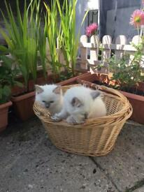 GCCF registered Ragdoll cat kittens