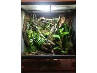 Crested geckos and setup