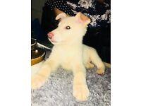 Beautiful White German Shepherd Girl Puppy