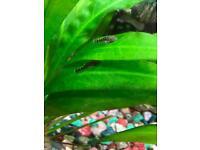 Tropical Fish - Bristlenose Pleco