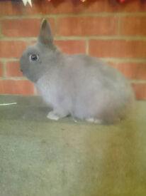 Netherland Dwarf Lilac Grey Buck Bunny Rabbit