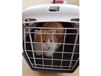 Loving home needed for our beautiful ginger/white boy. Will come with all food & accessories..