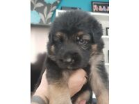 German shepherd puppies ready in 4wk will be vet checked wormed and flea treated