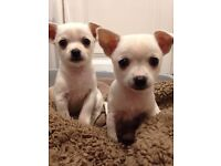 Chihuahua Puppies (sold separately) white 1 boy & 1 girl