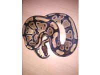Ball python for sale with viv