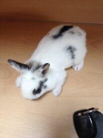 dwarf baby bunny rabbit