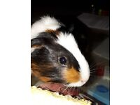 Black and white female guinea pig
