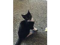 12 week old male kitten