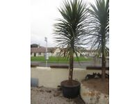 Palm Tree for Sale (approx. 10 feet)