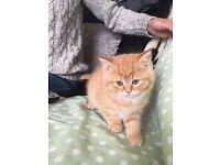 4 BSH Kittens
