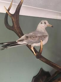 Taxidermy sea gull