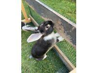 Mini lop rabbit female for sale urgent