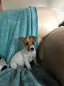 Jack Russell Pup and 2 Jack Russell Cross Puppies