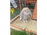 Beautiful French lop