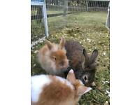 Baby lion head cross mini lop