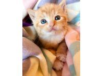 Beautiful Ginger kitten 8 weeks