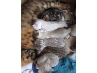 snow, brown spotted, marble, TICA bengal kittens