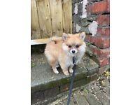 10 week male Pomeranian puppy