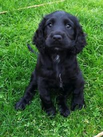 Sprocker puupy for sale