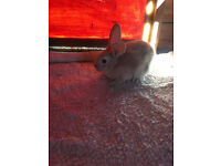 Dutch x baby rabbits