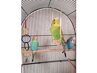 4 Budgies and Large Cage