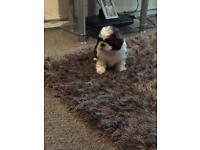 Last pure shih tzu puppy