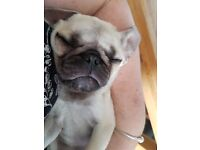 Pug Puppy Light Fawn