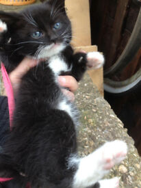 Lovely kitten boy Black and White litter trained