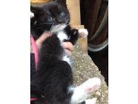 Lovely kitten boy Black and White litter trained