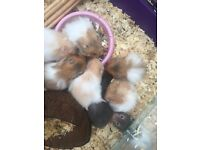 Long haired baby hamsters!