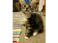 16 week kitten for sale