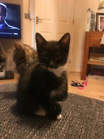 1 black and white male kittens