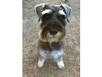 Missing 8 year old miniature schnauzer, salt an pepper colouring