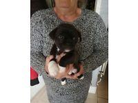 Cross pug/jack russel