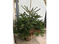 Potted Fir Tree Free to A Good Home