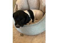 Springer spaniel pup - black and white