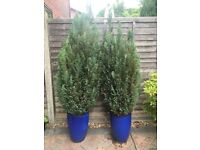 Pair of Conifers in Ceramic Planters - 185cm tall including pot £50. ono