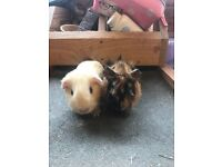 Sweet baby guinea pig boys for sale