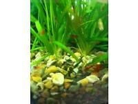 Baby pleco/catfish 1£ each!