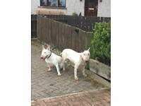 Bitch bull terrier and dog for sale 500 for both