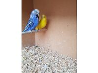 2 pairs of budgies for sale in bristol