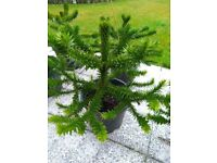 Monkey Puzzle Trees - Araucaria Araucana – Various sizes - £35 – 75.00