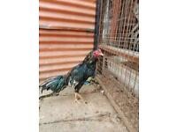 Top quality aseel chickens